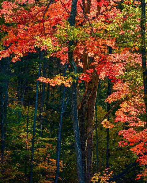 Backlit Maple Tree