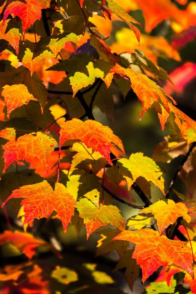 Frontlight on Maple leaves